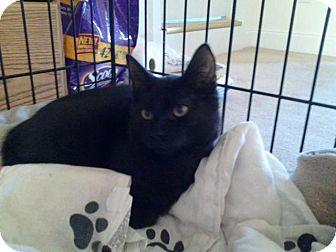 Domestic Shorthair Kitten for adoption in Garwood, New Jersey - Jasper