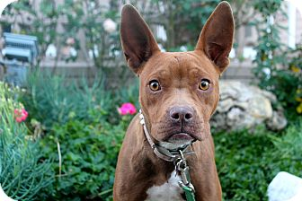 Boston Terrier/American Staffordshire Terrier Mix Dog for adoption in Los Angeles, California - Bugg-A-Boo