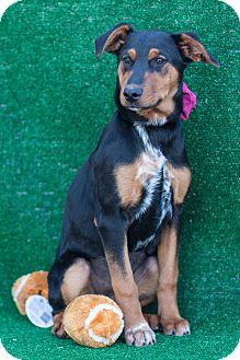 Australian Shepherd/Shepherd (Unknown Type) Mix Puppy for adoption in Auburn, California - Hanna