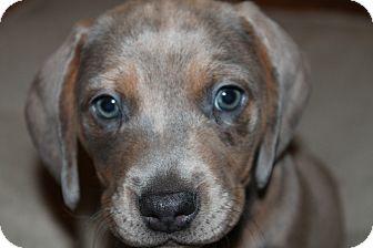 Basset Hound Mix Puppy for adoption in Spokane, Washington - Hunter