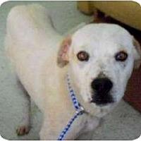 Adopt A Pet :: Capone - Seattle, WA