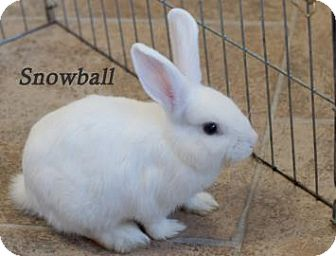 American for adoption in West Des Moines, Iowa - Snowball