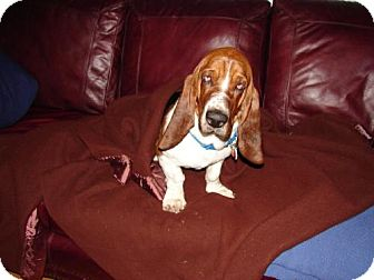 Basset Hound Dog for adoption in Grapevine, Texas - Sergeant (Sarge)