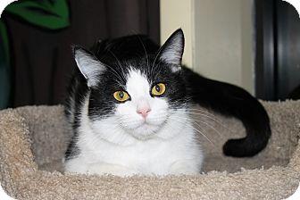Domestic Shorthair Cat for adoption in Seville, Ohio - Eugene