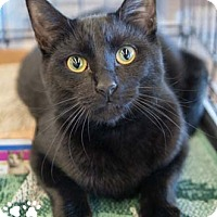 Domestic Shorthair Kitten for adoption in Merrifield, Virginia - Midnight