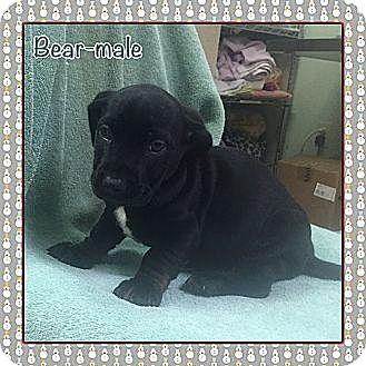 Dachshund Mix Puppy for adoption in Washington, D.C. - Bear (ETAA)