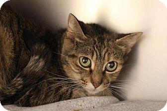 Domestic Shorthair Cat for adoption in Midland, Michigan - Pristina - BARN