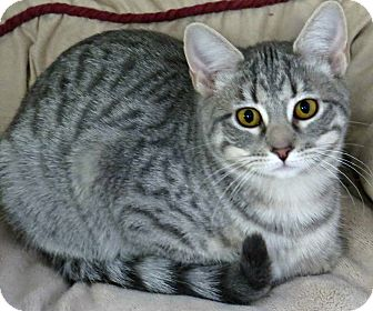Domestic Shorthair Cat for adoption in tama, Iowa - Saturn