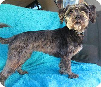 Terrier (Unknown Type, Medium)/Standard Schnauzer Mix Dog for adoption in Waldron, Arkansas - JOLIE BARKLEY