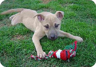 German Shepherd Dog Mix Puppy for adoption in Texarkana, Texas - GIJane ADOPTED MA