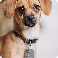 Adopt A Pet :: candy - Portland, OR