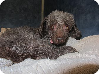 Poodle (Toy or Tea Cup) Dog for adoption in Ridgway, Colorado - Steele