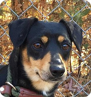 Feist Mix Dog for adoption in Spring Valley, New York - Toby
