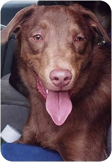 Chesapeake Bay Retriever Mix Dog for adoption in Owatonna, Minnesota - Teddy