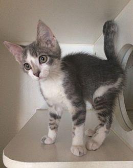 Domestic Shorthair Kitten for adoption in Breese, Illinois - Kibbles