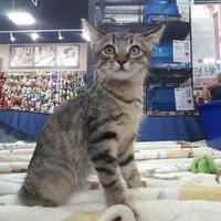 Adopt A Pet :: Thailand - Warren, MI
