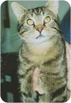 Domestic Shorthair Cat for adoption in Owatonna, Minnesota - Andy