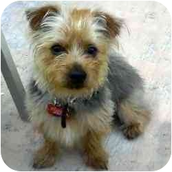 Yorkie, Yorkshire Terrier Mix Puppy for adoption in Homestead, Florida - Chancy