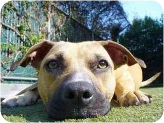 American Pit Bull Terrier Mix Dog for adoption in Berkeley, California - Farah