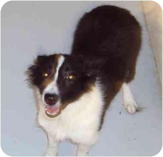 Sheltie, Shetland Sheepdog Puppy for adoption in Cannelton, Indiana - Lassie