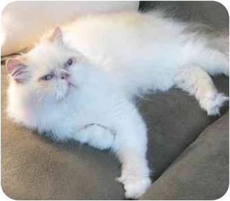 Himalayan Cat for adoption in Davis, California - J. J.