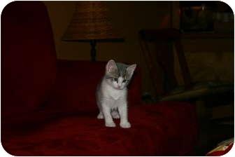 Domestic Shorthair Kitten for adoption in Randolph, New Jersey - Harvey - Bottle Baby!