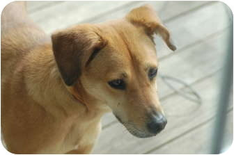 Dachshund/Shepherd (Unknown Type) Mix Dog for adoption in Oak Lawn, Illinois - Ariel