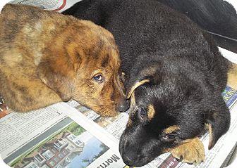 Labrador Retriever/Shepherd (Unknown Type) Mix Puppy for adoption in Hammonton, New Jersey - Jeni