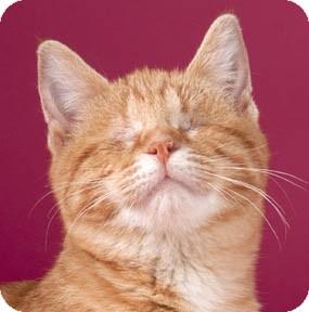 Domestic Shorthair Kitten for adoption in Chicago, Illinois - Djorn
