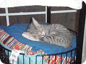 Domestic Shorthair Kitten for adoption in Cary, North Carolina - Gray