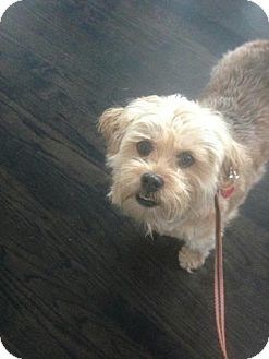 Maltese/Shih Tzu Mix Dog for adoption in Ogden, Utah - Bobby