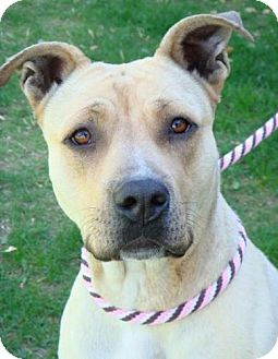 American Bulldog Mix Dog for adoption in Red Bluff, California - Geisha- $45 Adoption Fee