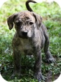 Pointer/Hound (Unknown Type) Mix Puppy for adoption in Spring Valley, New York - Baby Brindle
