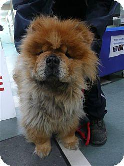 Chow Chow Dog for adoption in Tillsonburg, Ontario - Zeus