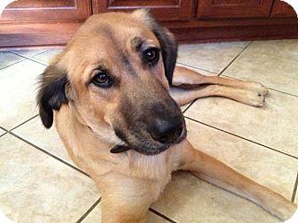 Anatolian Shepherd Mix Puppy for adoption in Austin, Texas - Thunder