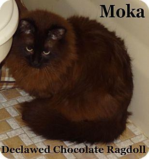 Ragdoll Cat for adoption in Bentonville, Arkansas - Moka