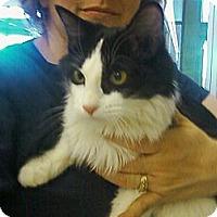 Adopt A Pet :: Bella Anne - Riverhead, NY
