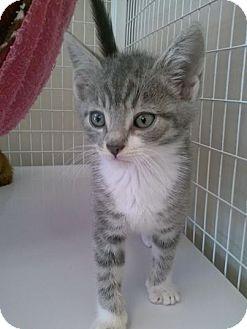 Domestic Shorthair Kitten for adoption in Carrollton, Virginia - Fletcher