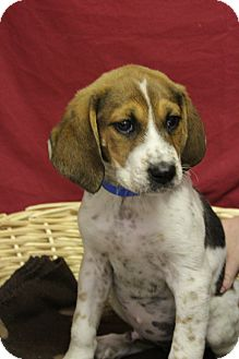 Hound (Unknown Type) Mix Dog for adoption in Waldorf, Maryland - Ethan