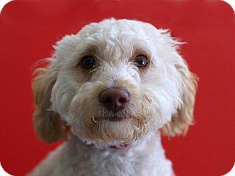 Miniature Poodle Mix Dog for adoption in Berkeley, California - Al