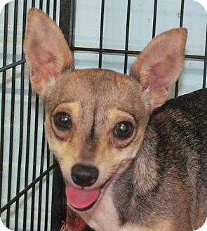 Chihuahua Mix Dog for adoption in Newburgh, Indiana - Cupcake - Lap Dog !