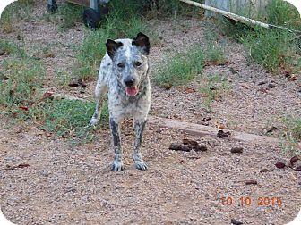 Australian Cattle Dog Dog for adoption in Phoenix, Arizona - splash