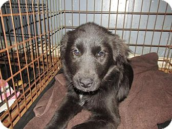 Labrador Retriever/Setter (Unknown Type) Mix Puppy for adoption in Rocky Mount, North Carolina - Kaelyn