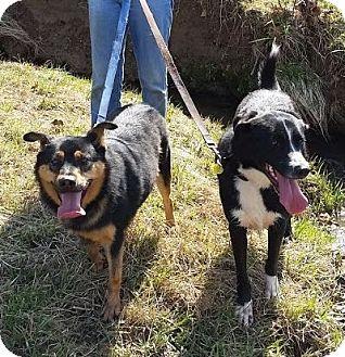 Shepherd (Unknown Type)/Border Collie Mix Dog for adoption in Harrisonburg, Virginia - Simon and Garfunkel (ETAA)