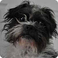 Adopt A Pet :: Gizmo *rescue only - Erwin, TN
