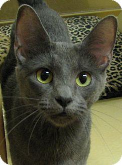 Domestic Shorthair Cat for adoption in Tulsa, Oklahoma - Buffy