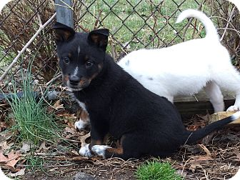 Blue Heeler Mix Puppy for adoption in Elmwood Park, New Jersey - Puppies!!!!!