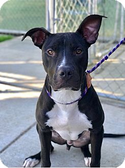 American Pit Bull Terrier Mix Dog for adoption in Salem, Oregon - Oreo