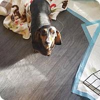 Adopt A Pet :: Annie - Raleigh, NC