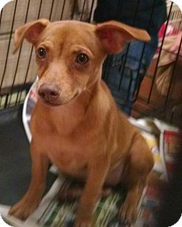 Miniature Pinscher Mix Dog for adoption in Ringoes, New Jersey - Tip